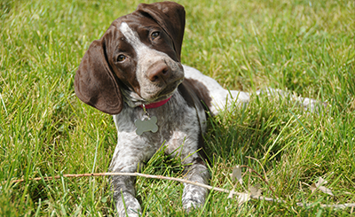 Puppy Developmental Training Program Idaho Falls, ID